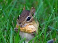 Chipmunk.HP.11.jpg