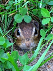 Chipmunk.HP.15.jpg