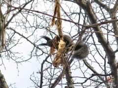 Белка добывает кору для гнезда