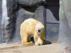 Polar_Bear.Zoo.01.jpg
