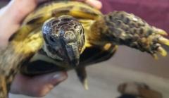 Черепаха Бекон