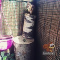 Царь Рыжик на деревянном троне
